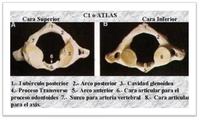 Articulación Atlantoaxoidea: 2010