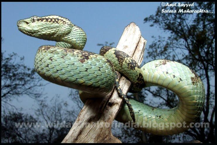 Viper Snake Viper Snake Strike
