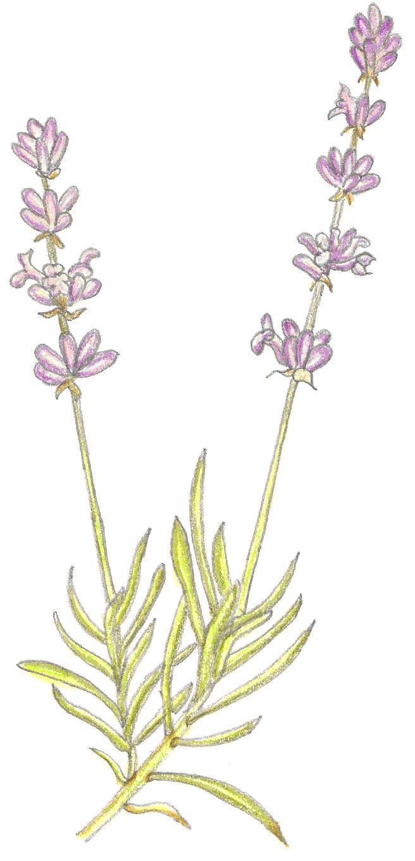 Labanda planta beautiful resultado de imagen para lavanda - Cuidados lavanda en maceta ...