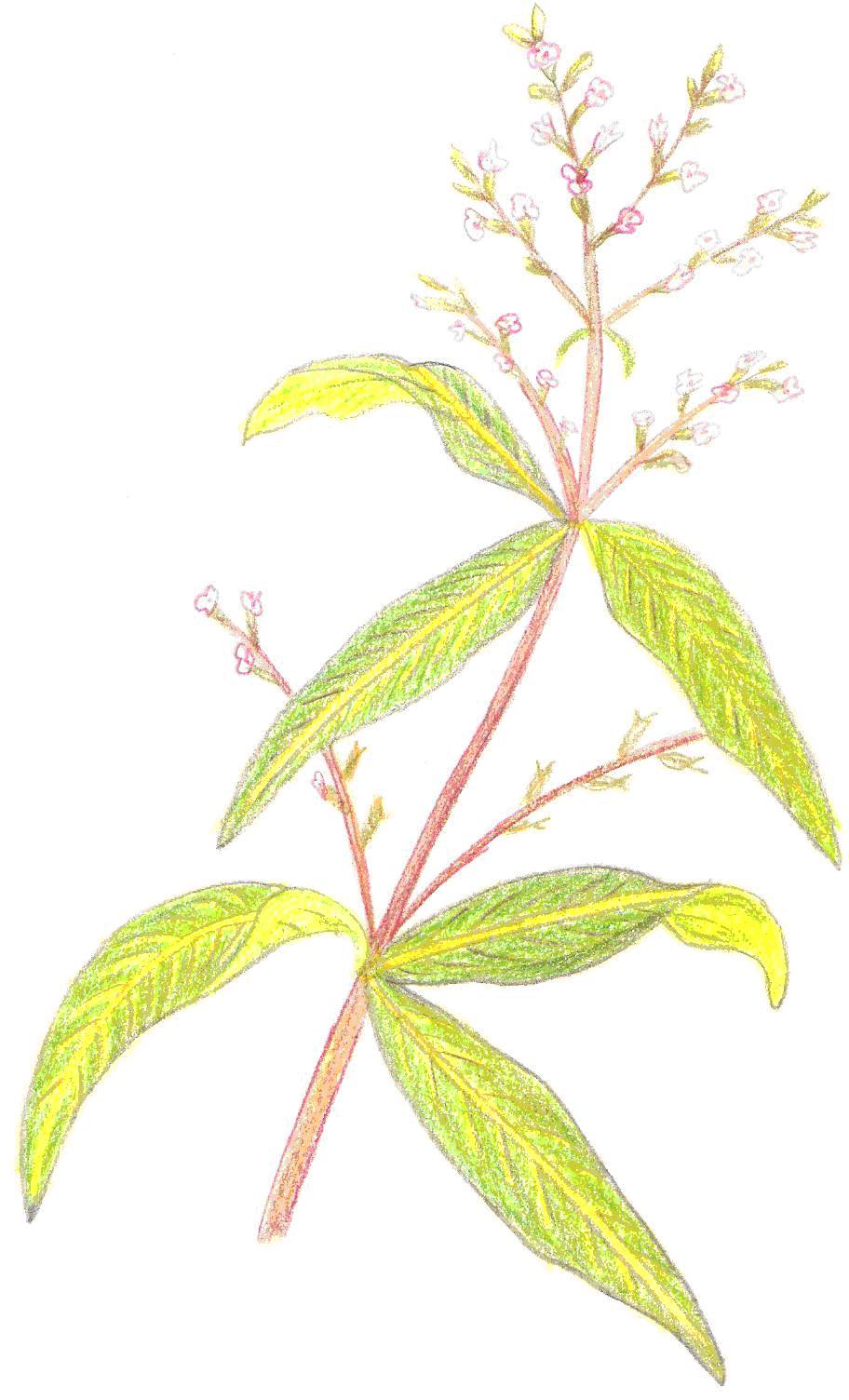 Plantas arom ticas condimentarias y medicinales hierba - Hierba luisa en maceta ...