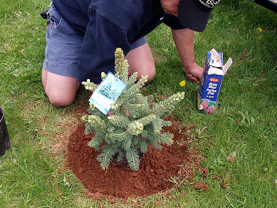 Hubby is busy planting this beautiful little blue spruce while I supervise and run the camera.