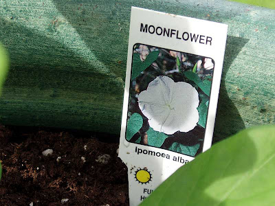 The plant id tag for my Moonflower.