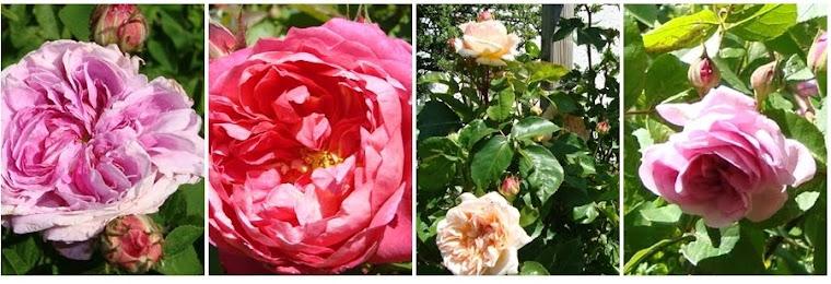 Lavendels Roser