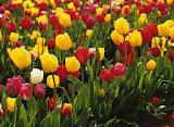 Tulip itu saya