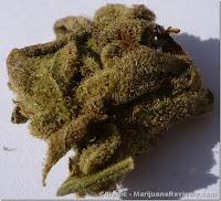 semilla marihuana chronic