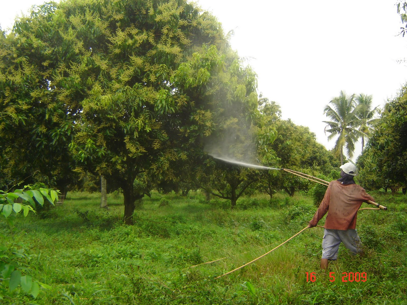 Pointers On Applying Fruit Inducer To Mango Trees