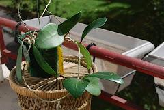Hoya aff verticilata