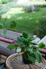 Hoya obscura long peduncle