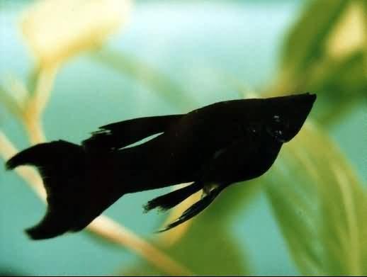Fish Diseases Black Molly Disease