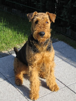 Puppies Dogs For Sale Airedale Terrier