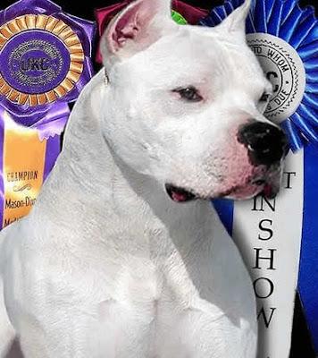 Grand Champion Dogo Argentino