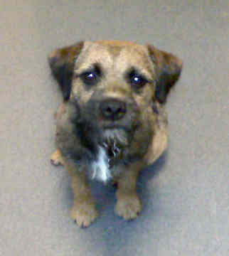 Border Terrier Dog Breeders