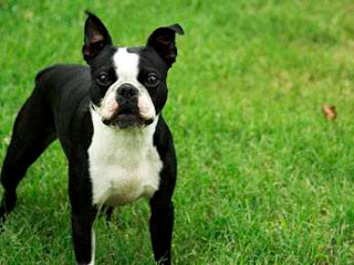 Boston Terrier Popular Dog Breed