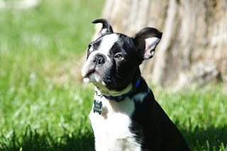 Boston Terrier Dog Breeders