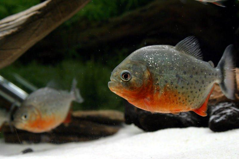 Piranha Pictures ~ Tropical Fish Gallery