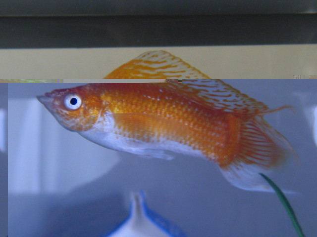 How to Care For Molly Fish ~ Tropical Fish Gallery