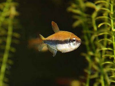 Tetra fish disease question neon tetra disease could for Fish diseases pictures
