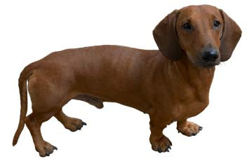 Dachshund Popular Little Dog Breed