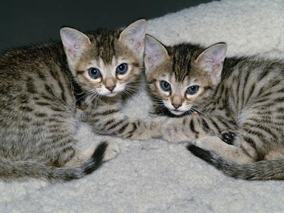 Bengal Cat Breeders