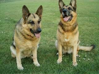 German Shepherd Dog breeders