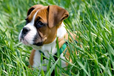 Boxer Puppies Pictures