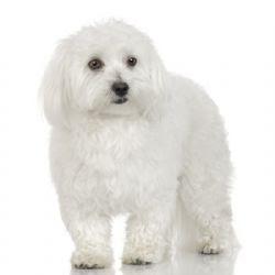 Maltese Dog Breeds