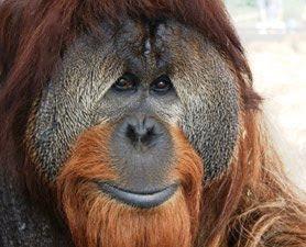 Orangutans Primates Photos