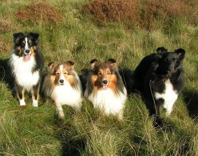 Popular Dogs of Shetland Sheepdog
