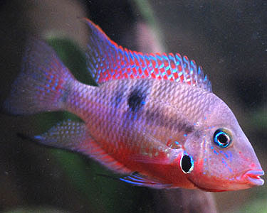 Firemouth Cichlid Fish