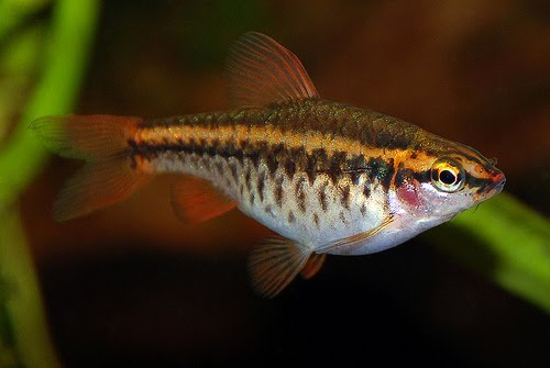 Pictures of cherry barb tropical fish gallery for Cherry barb fish