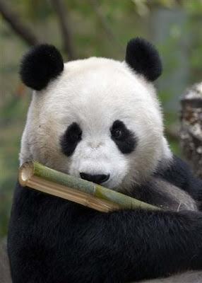 Image of Baby Panda