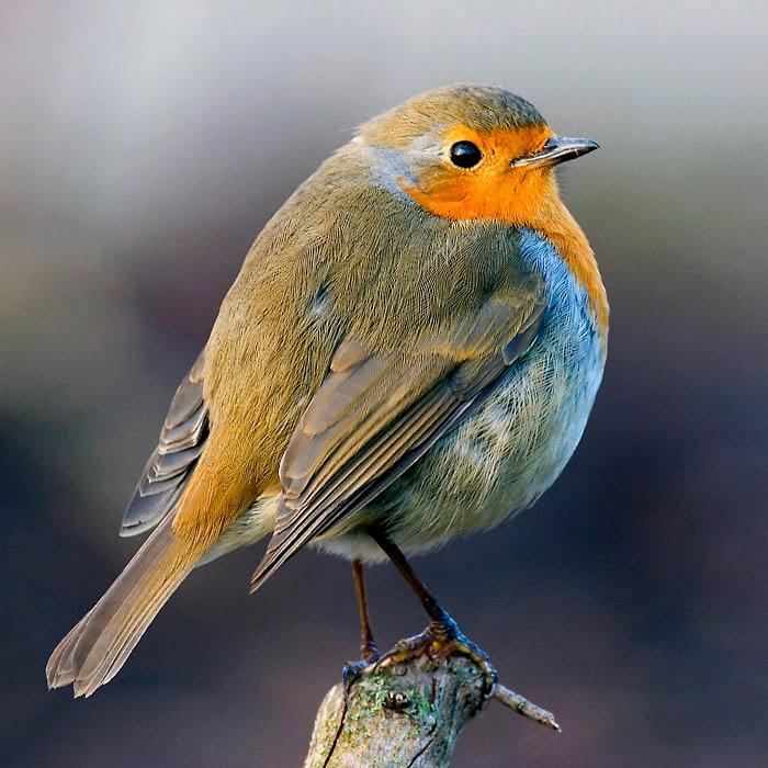 b robin