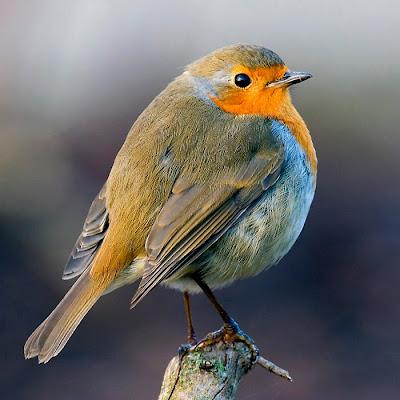 1000 European Robin Image
