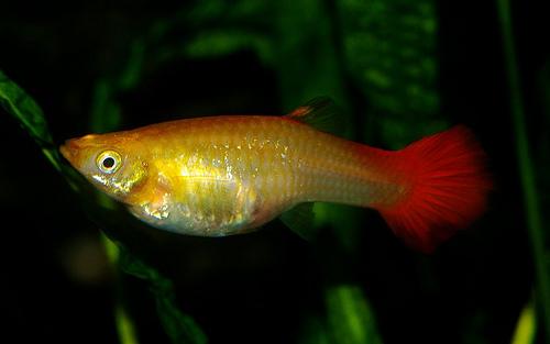 Breeding fish for Fancy guppy fish