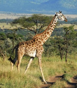 Giraffe African Animals