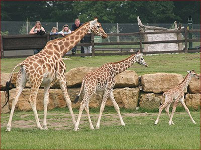 Giraffe Picture Gallery