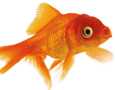 Goldfish Top Pictures ~ Tropical Fish Gallery