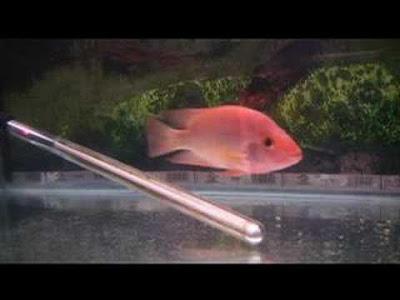Red devil cichlid originates