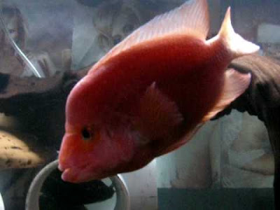 Red devil cichlid has a concave forehead
