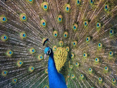 The peacock is designated as the national bird of India