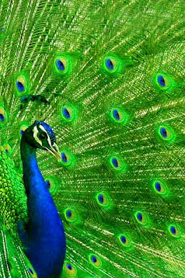 Peacock has iridescent blue-green or green colored plumage