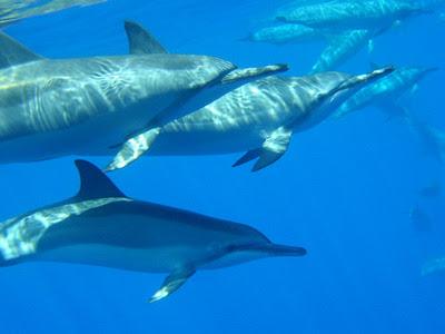 Dolphin in seventeen genera