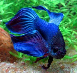 Top Betta Fish