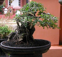 tanaman hias rh emirgarden blogspot com Bonsai Shapes Bonsai Silhouette