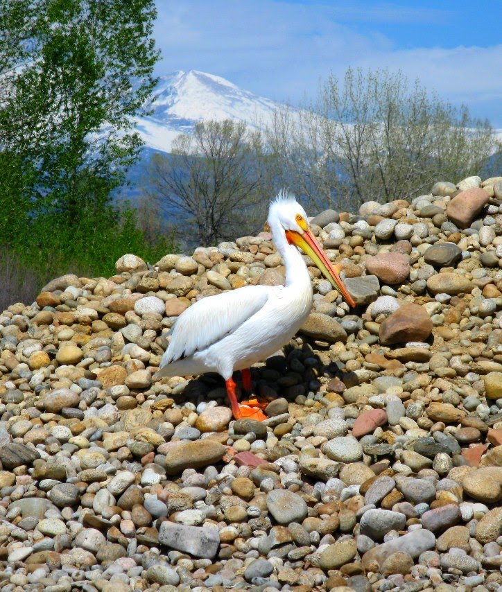 Pelicans Pelecanus Erythrorhynchos: ColoradoCasters: May 2010