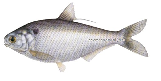Coloradocasters let s get to know gizzard shad for Colorado fish stocking