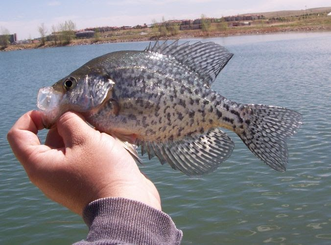 Coloradocasters let s get to know the crappie for Crappie fish facts