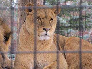 Leijona Saskatoonin eläintarhassa