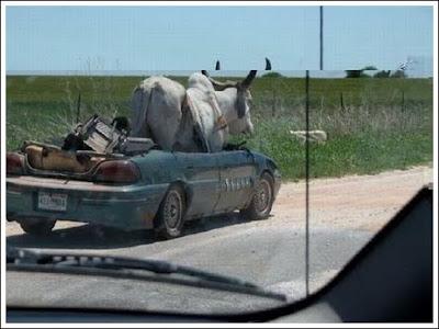 Mobil di Naiki Banteng