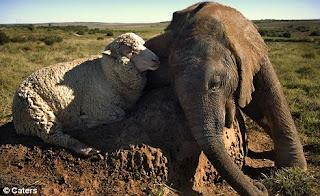 [Image: Foto+Domba+Bareng+Gajah.jpg]